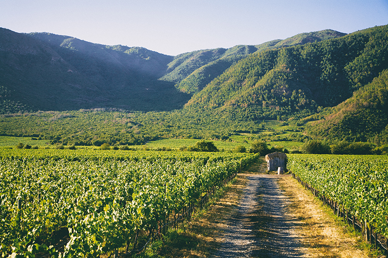 Biodynamic vineyards at the Los Robles estate, Emiliana Organic Vineyards, Chile
